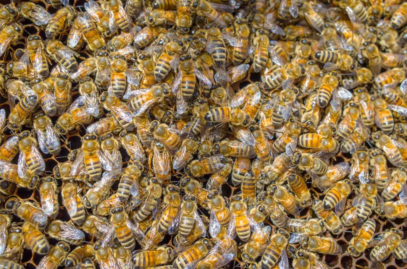 EM Gold Beekeepers Beekeeping frame full of bees Photo