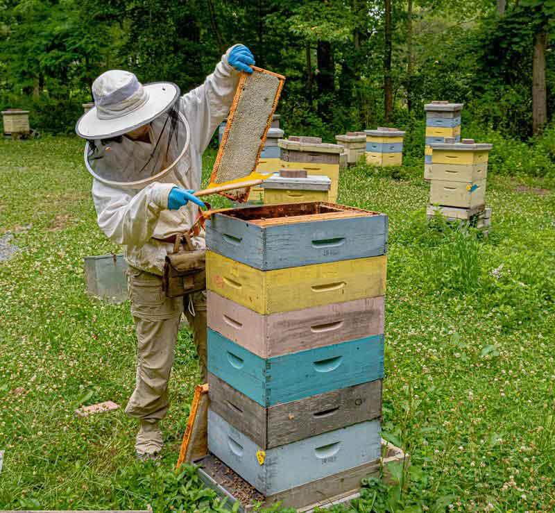 Pulling a capped frame of NJ Honey