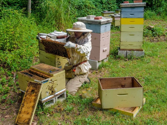 EM Gold Beekeepers Beekeeping inspecting a summer nuc Photo