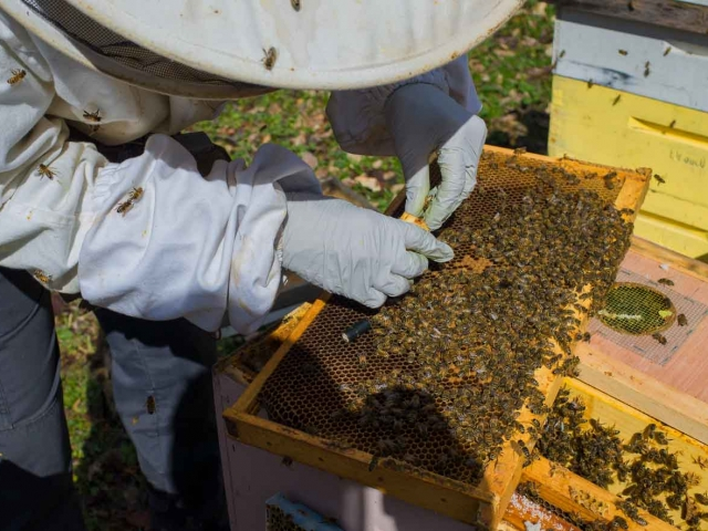 EM Gold Beekeepers Beekeeping caging a queen Photo